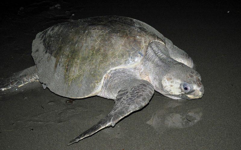 Isla Cañas, llegada de tortugas para desovar
