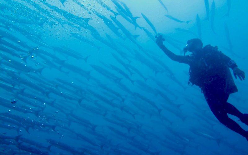 Barracudas. ©Kevan Mantell