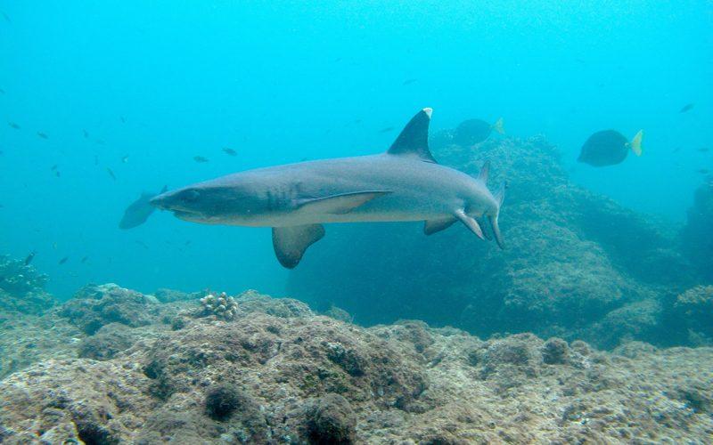 Coiba tiburón puntiblanco. ©Kevan Mantell